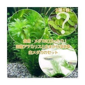 (めだか)(水草)メダカ・金魚藻 国産 アナカリス(無農薬)(5本) +おまかせ浮き草3種+白メダカ(6匹)