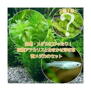 (めだか)(水草)メダカ・金魚藻 国産 アナカリス(無農薬)(5本) +おまかせ浮き草3種+青メダカ(6匹)