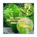 (めだか)(水草)楊貴妃メダカ(4匹)+ メダカ・金魚藻 国産 アナカリス(無農薬)(5本)+おまかせ浮き草3種…