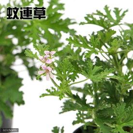 (観葉植物)ハーブ苗 カレンソウ(蚊連草) 3号(1ポット) 家庭菜園 虫除け植物