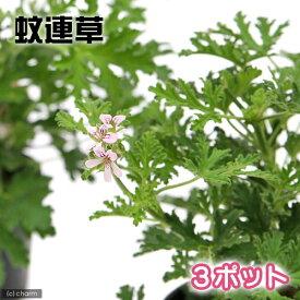 (観葉植物)ハーブ苗 カレンソウ(蚊連草) 3号(3ポット) 家庭菜園 虫除け植物
