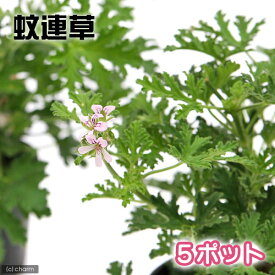 (観葉植物)ハーブ苗 カレンソウ(蚊連草) 3号(5ポット) 家庭菜園 虫除け植物