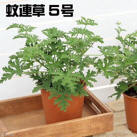 (観葉植物)ハーブ カレンソウ(蚊連草) 5号(1鉢) 虫除け植物 家庭菜園