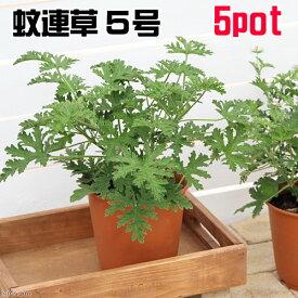 (観葉植物)ハーブ カレンソウ(蚊連草) 5号(5鉢) 虫除け植物 沖縄別途送料