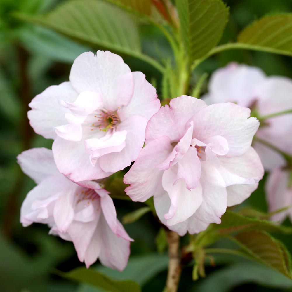 (盆栽)サクラ(桜) 旭山 3.5号(1ポット)