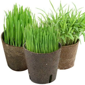 (観葉植物)おまかせやわらか生牧草 直径8cmECOポット植え(無農薬)(2ポット) 猫草