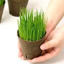 (観葉植物)イタリアンライグラス うさぎの草 直径8cmECOポット植え(無農薬)(3ポットセット) 生牧草 うさぎのおやつ