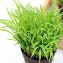 (観葉植物)スーダングラス うさぎの草 直径8cmECOポット植え(無農薬)(5ポットセット) 生牧草 うさぎのおやつ