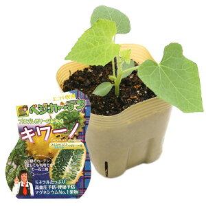 (観葉植物)野菜苗 キワーノ 3号(1ポット) 家庭菜園 緑のカーテン