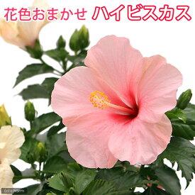 (観葉植物)ハイビスカス 花色おまかせ 4号(1鉢)