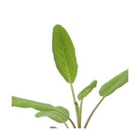 (観葉植物)ハーブ苗 セージ コモンセージ 3号(1ポット) 家庭菜園
