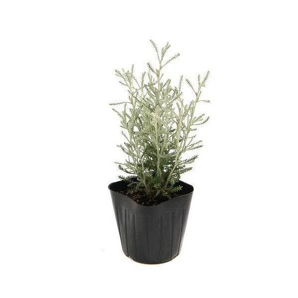 (観葉植物)ハーブ苗 サントリナ グレー 3号(1ポット) 家庭菜園