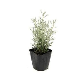 (観葉植物)ハーブ苗 サントリナ グレー 3号(1ポット) 家庭菜園 クラフト