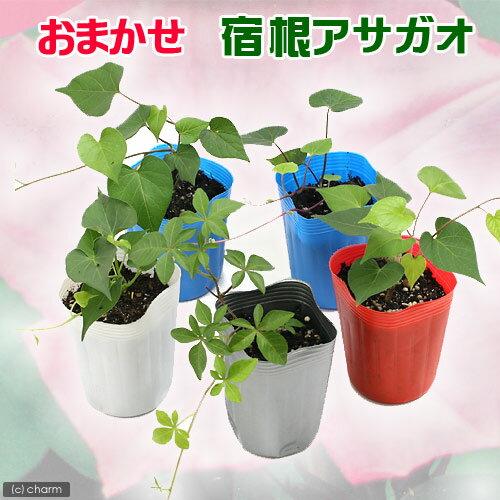 (観葉植物)緑のカーテン おまかせ 宿根アサガオの苗 3号(1ポット)