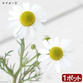 (観葉植物)ハーブ苗 カモミール ローマンカモミール 3号(1ポット) 家庭菜園 ティー