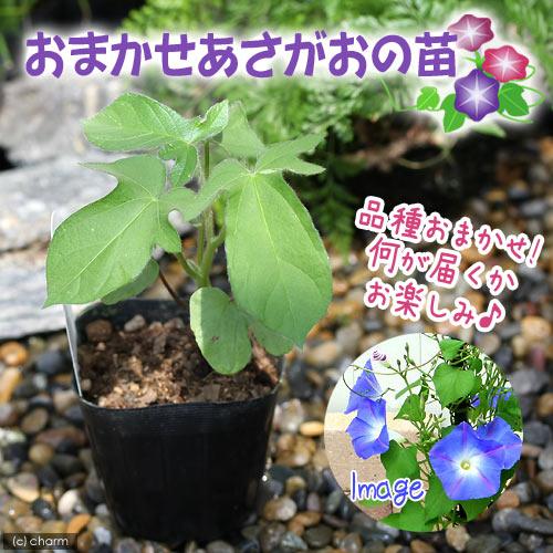 (観葉植物)緑のカーテン おまかせ アサガオの苗 3号(1ポット)