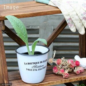 (観葉植物)ハーブ苗 アーティチョーク グリーングローブ 3号(1ポット) 家庭菜園