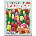 (観葉植物)チューリップ球根 ぴったりちゅうりっぷ 恋色キャンバス 10球詰(1袋)