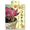 (観葉植物)秋を彩る。 どこでも咲く球根 コルチカム ウォーターリリー 1球詰(1袋)