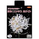 (観葉植物)ネリネ球根 ダイヤモンドリリー サルニエンシス ホワイト 1球詰(1袋)