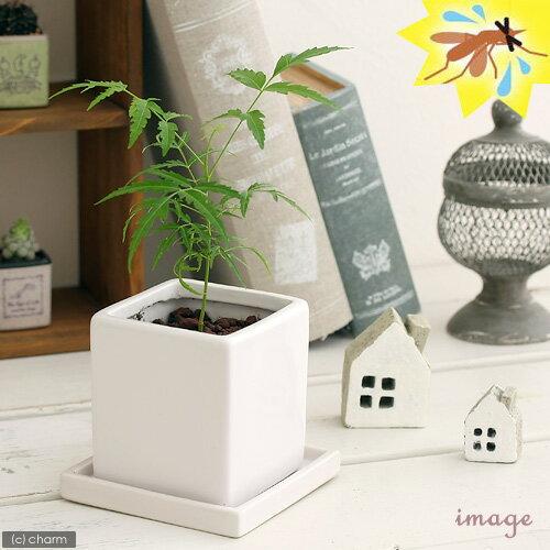 (観葉植物)ミラクルニーム 陶器鉢植え ダイスM WH(1鉢) 受け皿付き