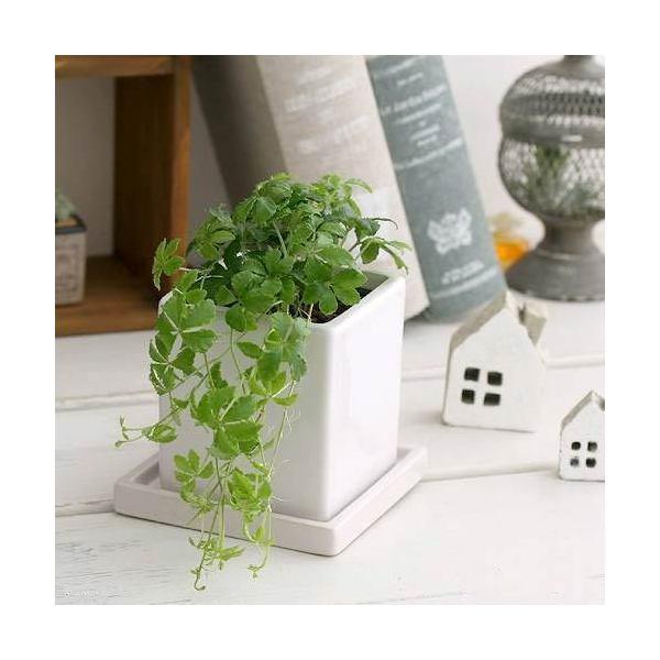 (観葉植物)パーセノシッサス シュガーバイン 陶器鉢植え ダイスM WH(1鉢) 受け皿付き