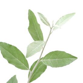 (観葉植物)ロシアンオリーブ(ヤナギバグミ ハッピーグミ) 3〜4号(1ポット)