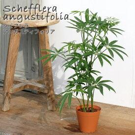 (観葉植物)シェフレラ アンガスティフォリア 4号(1鉢) 北海道冬季発送不可