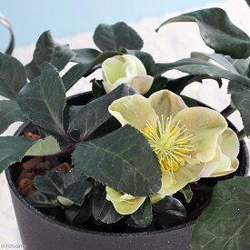 (観葉植物)クリスマスローズ シナモンスノー バラーディアエ種 5号(1鉢) 北海道冬季発送不可