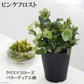 (観葉植物)クリスマスローズ ピンクフロスト バラーディアエ種 5号(1鉢) 北海道冬季発送不可