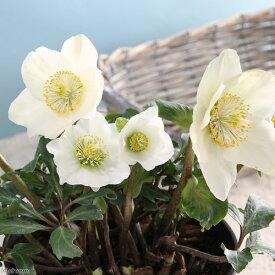 (観葉植物)クリスマスローズ ビアンカ ニゲル種 5号(1鉢) 北海道冬季発送不可