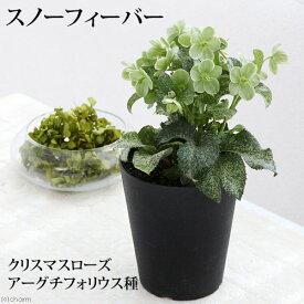 (観葉植物)クリスマスローズ スノーフィーバー アーグチフォリウス種 5号(1鉢) 北海道冬季発送不可