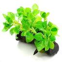 (水草)ルドウィジア レペンス グリーン(水上葉) 流木付(無農薬)Sサイズ(1個)(約10〜15cm)
