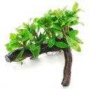 (水草)ハイグロフィラ ポリスペルマ 流木付 Sサイズ(水上葉)(無農薬)(1本)(約15cm)
