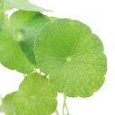 (水草)ミニマッシュルーム(水上葉) 鉢植え(無農薬)(1鉢)