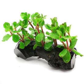 (水草)ウォーターウィステリア 流木付 Sサイズ(水上葉)(無農薬)(1本)(約15cm)