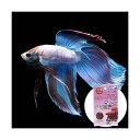 (熱帯魚)ベタ・トラディショナル マルチカラー(オス)(1匹) ベタの底砂 ボルケーノ・レッド付き 本州・四国限定
