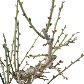 (盆栽)梅 トウジ(冬至) 6号(1鉢)鉢無し 北海道冬季発送不可