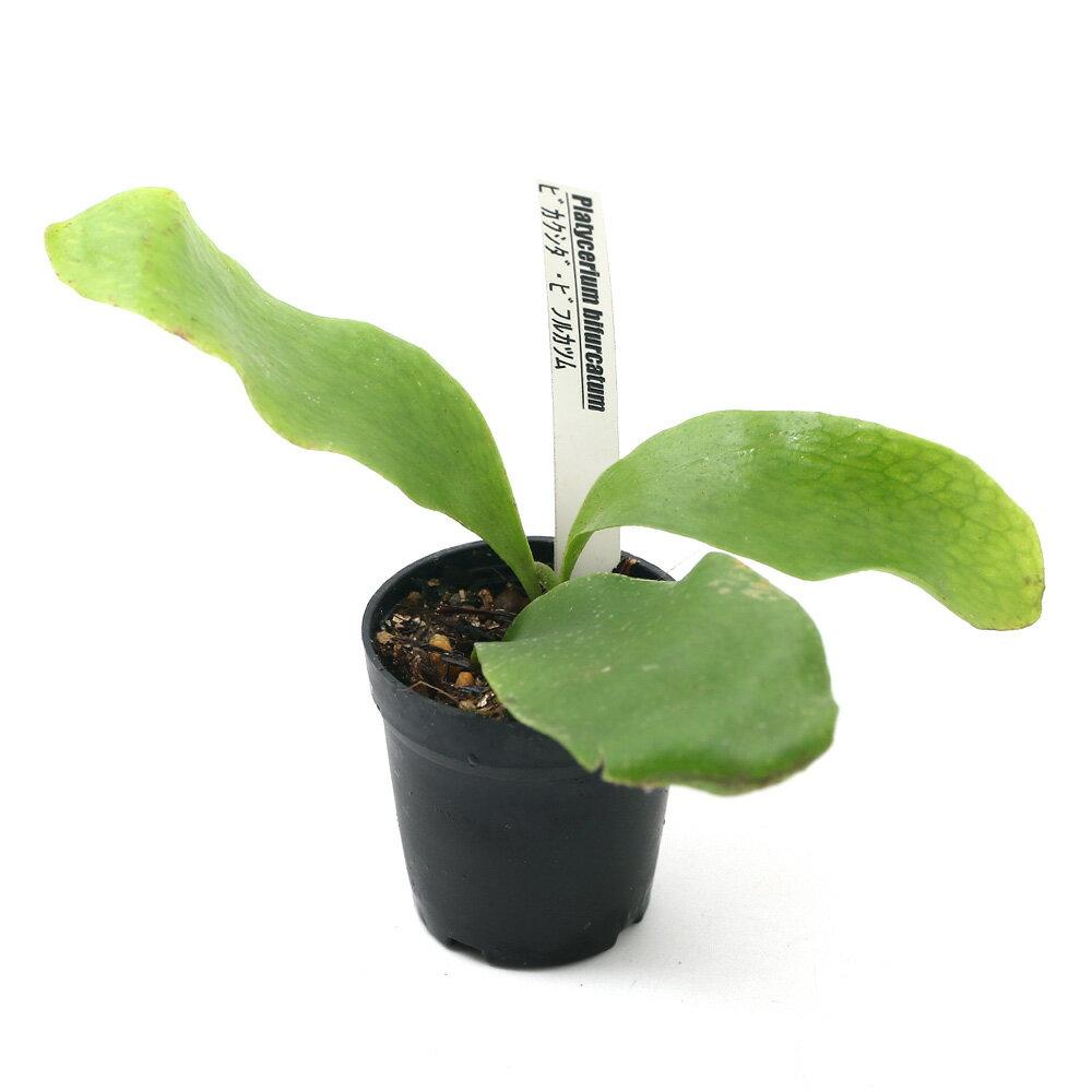 (観葉植物)ビバリウムプランツ コウモリラン ビカクシダ ビフルカツム 4cmポット入り(1ポット) 北海道冬期発送不可
