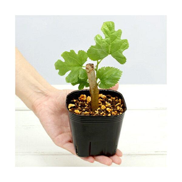(観葉植物)ペットリーフ 桑の苗 3号(無農薬)(1ポット)クワの苗 くわの苗 うさぎ リクガメ おやつ