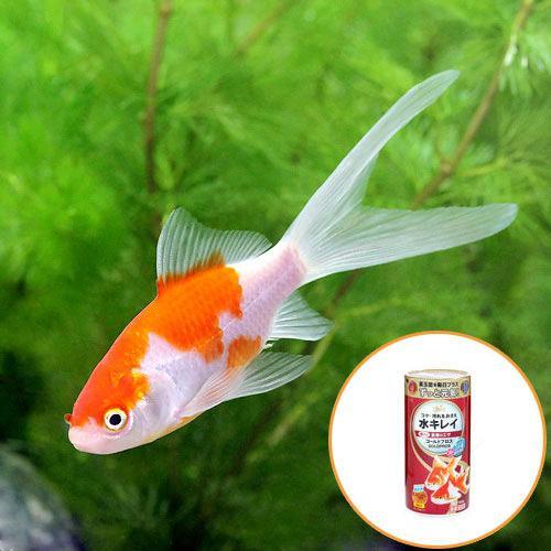 (国産金魚)コメット(1匹) + キョーリン ゴールドプロス 50g セット 本州・四国限定