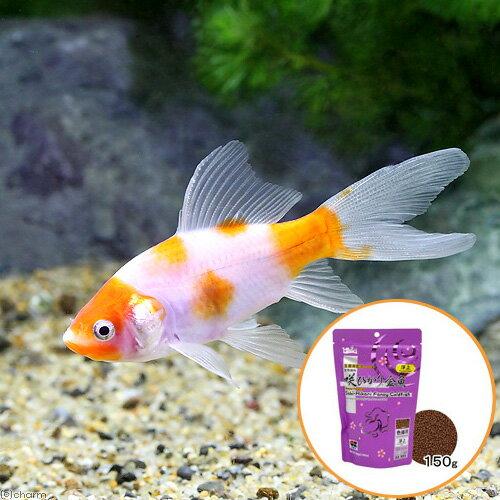 (国産金魚)桜コメット(1匹) + キョーリン 咲ひかり 金魚 色揚げ用 浮上 150g セット 本州・四国限定