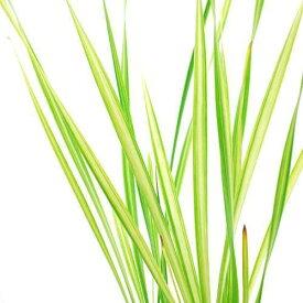 (ビオトープ)水辺植物 斑入りコガマ(1ポット) 抽水植物