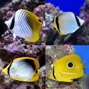 (海水魚)沖縄産 チョウチョウウオミックス(5匹)
