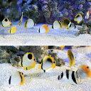 (海水魚)沖縄産 チョウチョウウオミックス SSサイズ(3匹)