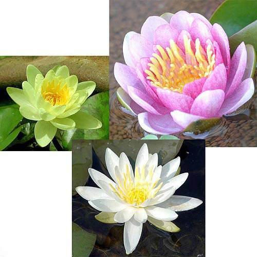 (ビオトープ)睡蓮 温帯性睡蓮(スイレン)3色セット 桃・黄・白(各1株ずつ)