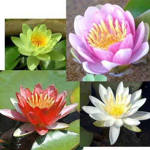 (ビオトープ)睡蓮 温帯性睡蓮(スイレン)4色セット 赤・桃・黄・白(各1株ずつ)(休眠株)