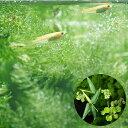 (めだか 水草)ヒメダカ 初心者セット ヒメダカ(10匹) + おまかせ浮き草3種セット