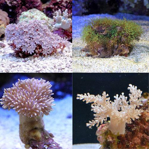 (海水魚 サンゴ)お一人様1点限り おまかせプチサンゴ(ソフトコーラル)(5個) 北海道・九州航空便要保温