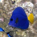(海水魚)パープルタン(1匹)エサ用ウミブドウ50g付き